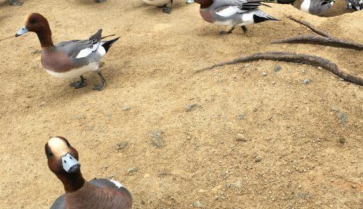加古川の平荘湖でカモに餌やりができる!思ったより楽しかったという記録。
